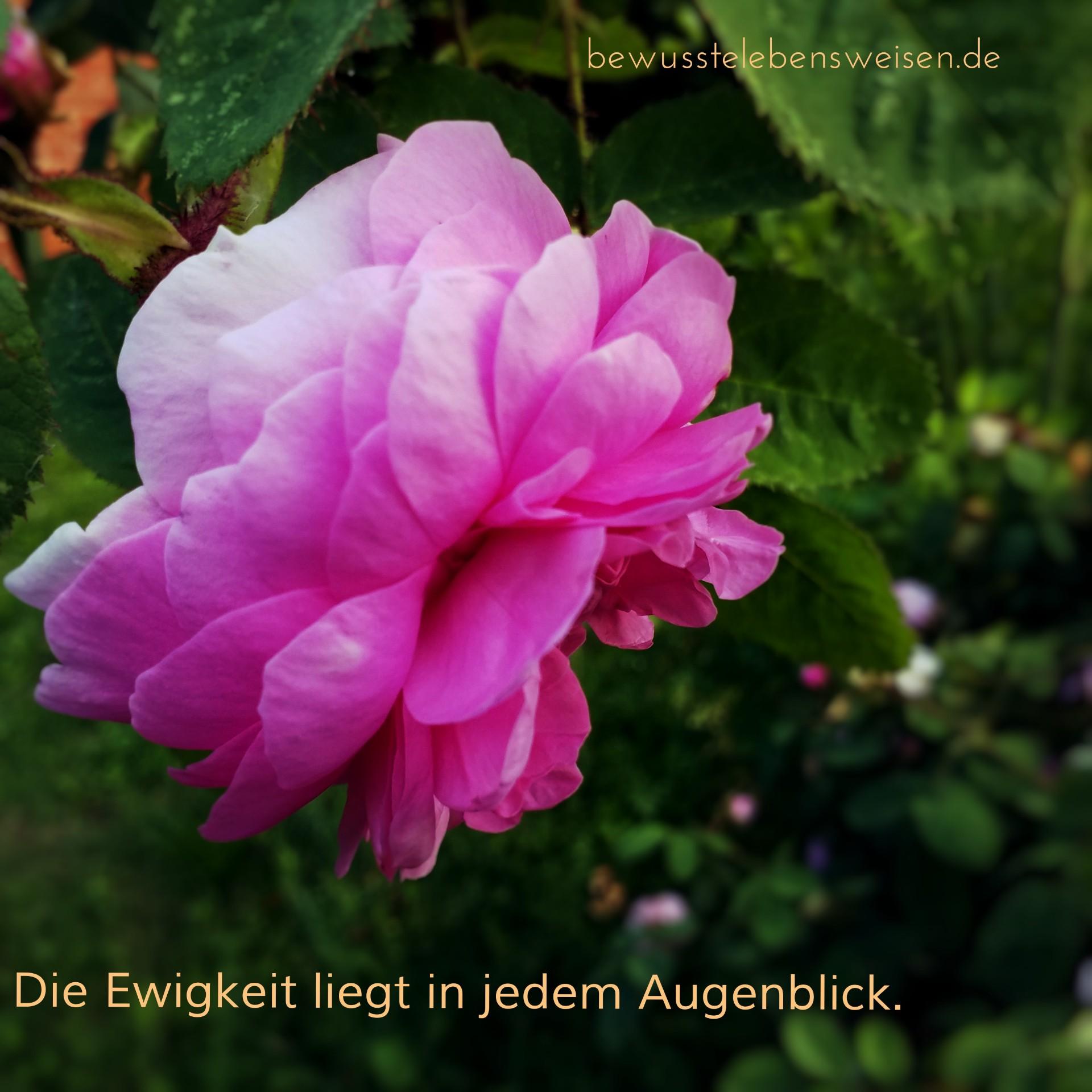 Read more about the article Kalenderblatt 19.Juli 2019 – Rosenblüte